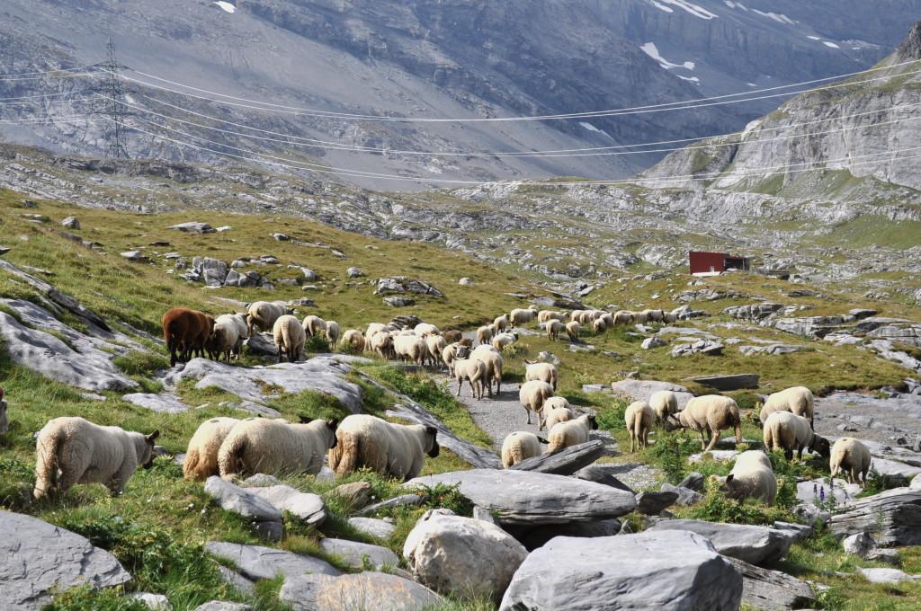 Pecore a passeggio al passo Gemmi durante la transumanza