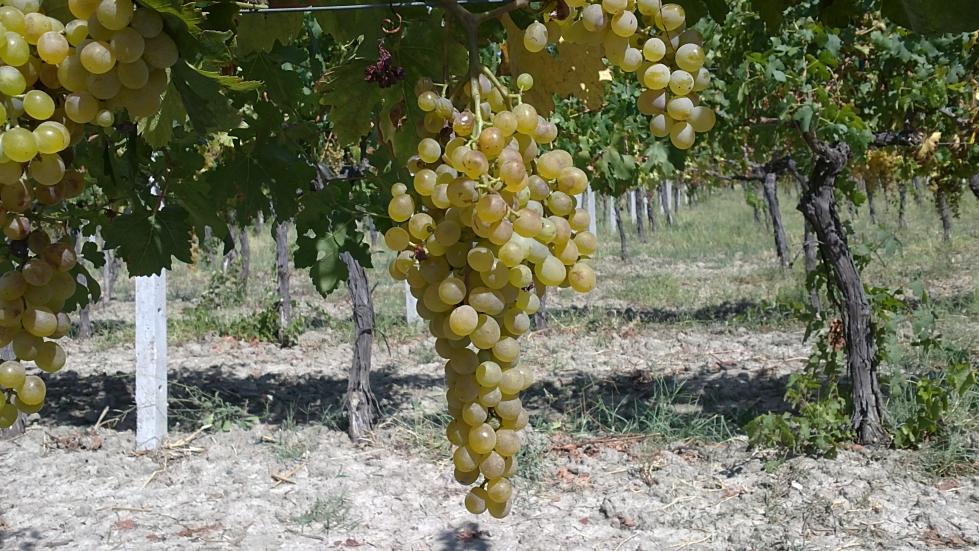 vitigno greco di bianco cantina i Dioscuri