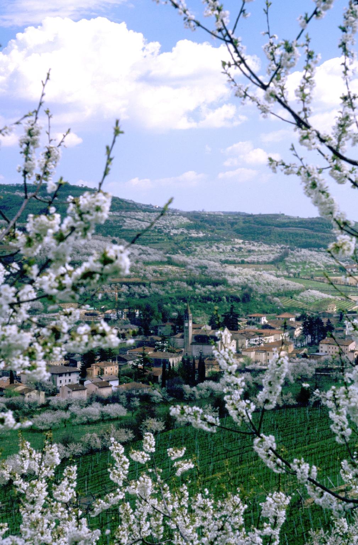 Lo spettacolo della fioritura dei ciliegi lungo la Strada del Vino di Soave