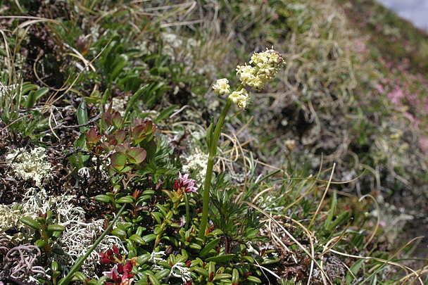 La Valeriana Celtica, pianta officinale di montagna che vale un'escursione